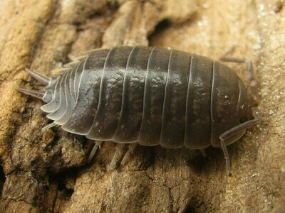 Smooth Grey Isopods