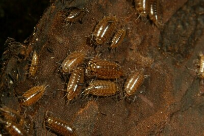 Florida Fast Isopods