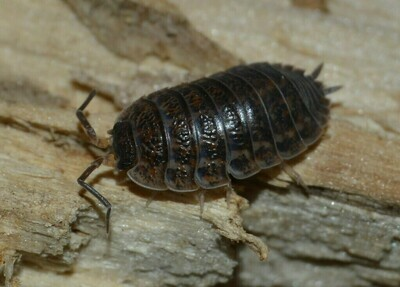 Rusty Red Isopods