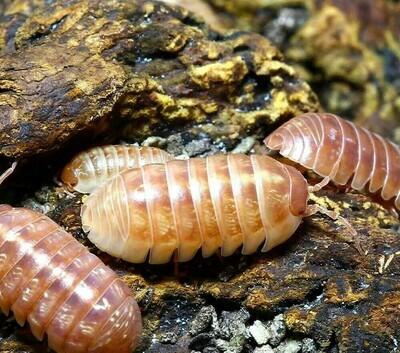 Tangerine Isopods