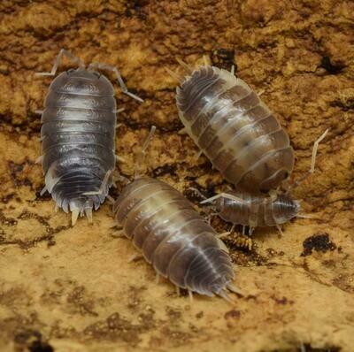 Live Milkback Isopods