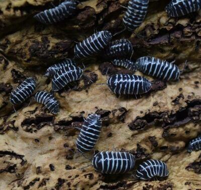 Zebra Isopods