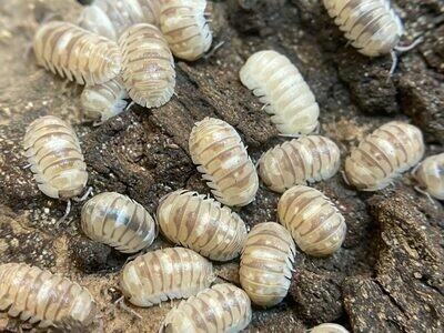 Marbleized Isopods