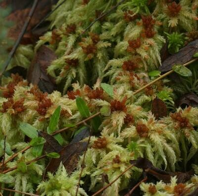 Live Palustre Sphagnum Moss