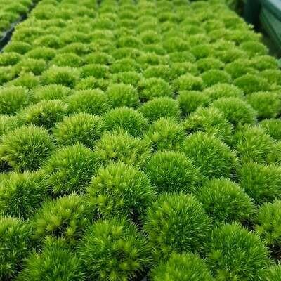 Live Bun Moss