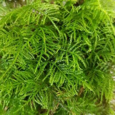 Live Feather Moss