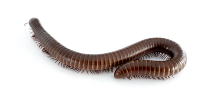 Giant pink foot Millipede