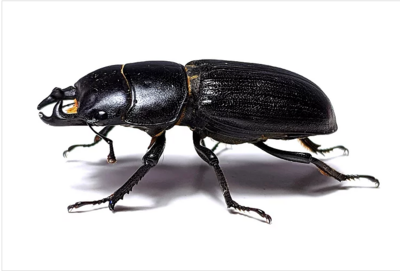Antelope Stag Beetle
