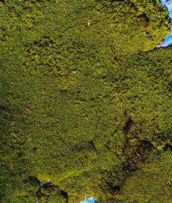Live Short Carpeting Sphagnum Moss