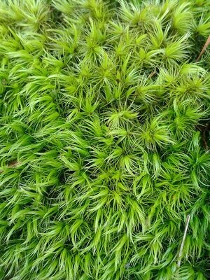 Live Windswept Broom Moss