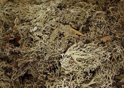 Grey Oak Moss