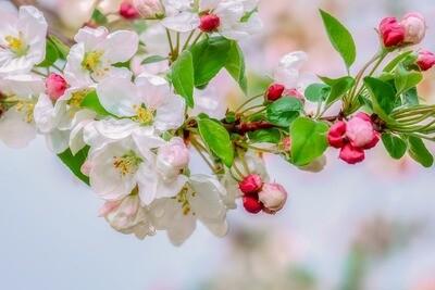 Apple Blossom Fragrance