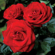 Rose Hydrosol (Floral Water)