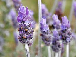 Lavender Hydrosol (Floral Water)