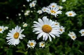 Chamomile Hydrosol (Floral Water)