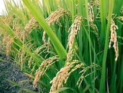 Hydrolyzed Rice Protein