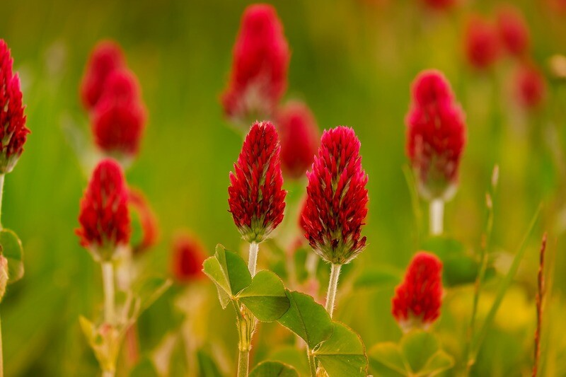 Red Clover Herbs