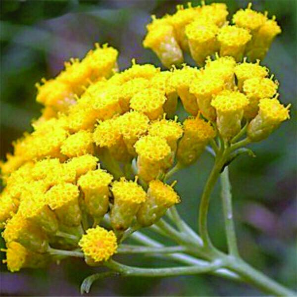 Helichrysum Hydrosol ( Floral Water )