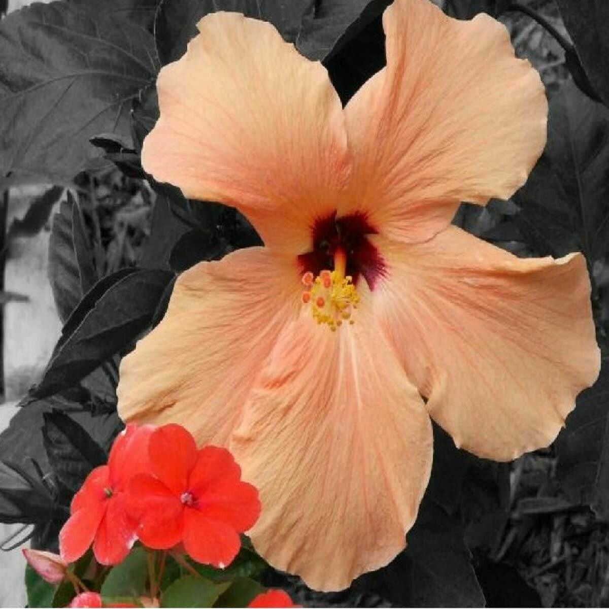 White Peach & Hibiscus Fragrance