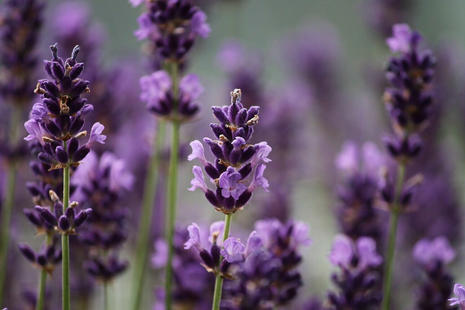 Lavender Flavoring (Unsweetened)