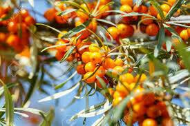 Sea Buckthorn Seed Oil Organic