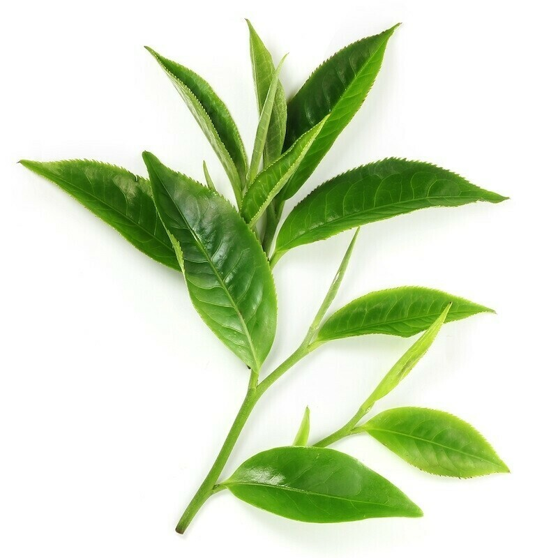 Camellia (Green Tea) Oil Organic
