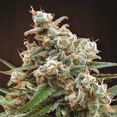 Ace Seeds - Nepalese Jam (fem.)