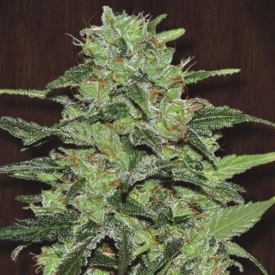 Ace Seeds - Malawi (fem.)