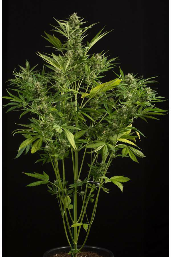 Dinafem - White Widow XXL Autoflowering (auto/fem.)