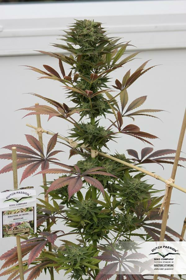 Dutch Passion - Blueberry (fem.)
