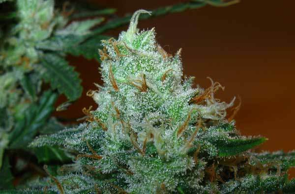 Green House Seeds - Super Lemon Haze (fem.)