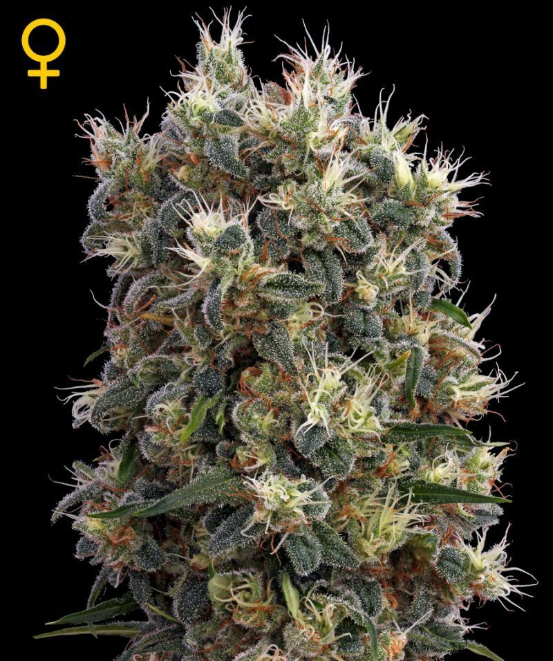 Green House Seeds - The Church (fem.)