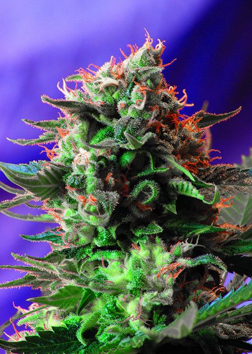 Sweet Seeds - Jack 47 (fem.)