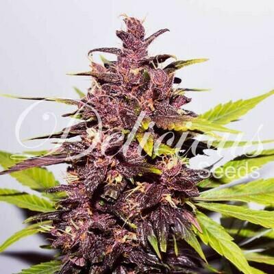 Delicious Seeds - Auto Dark Purple (auto/fem.) 03643