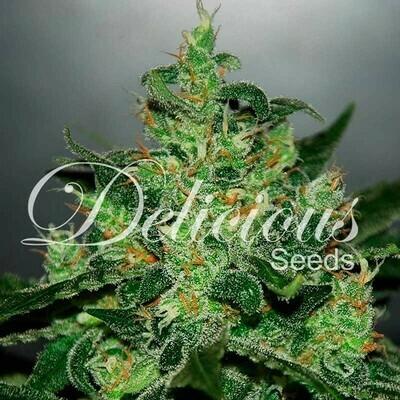 Delicious Seeds - Critical Jack Herer Auto (auto/fem.) 03621
