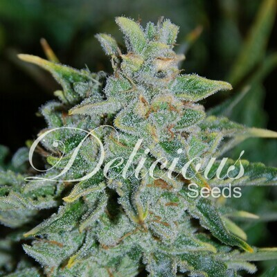 Delicious Seeds - Northern Light Blue Auto (auto/fem.) 02597