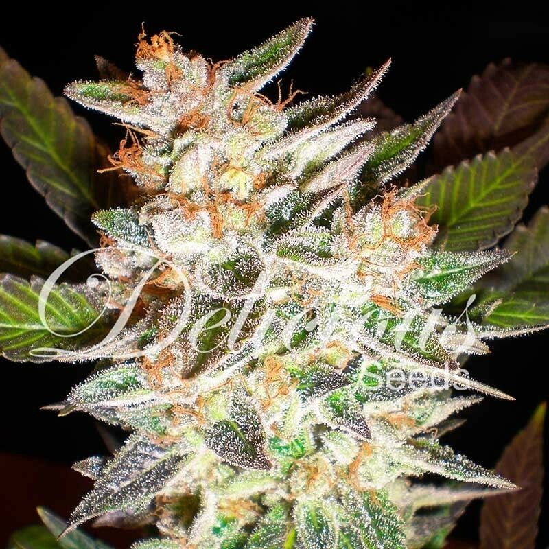 Delicious Seeds - Cheese Candy Auto (fem./auto)