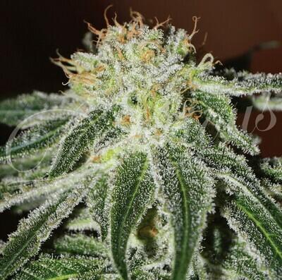 Delicious Seeds - Black Russian (fem.) 02326
