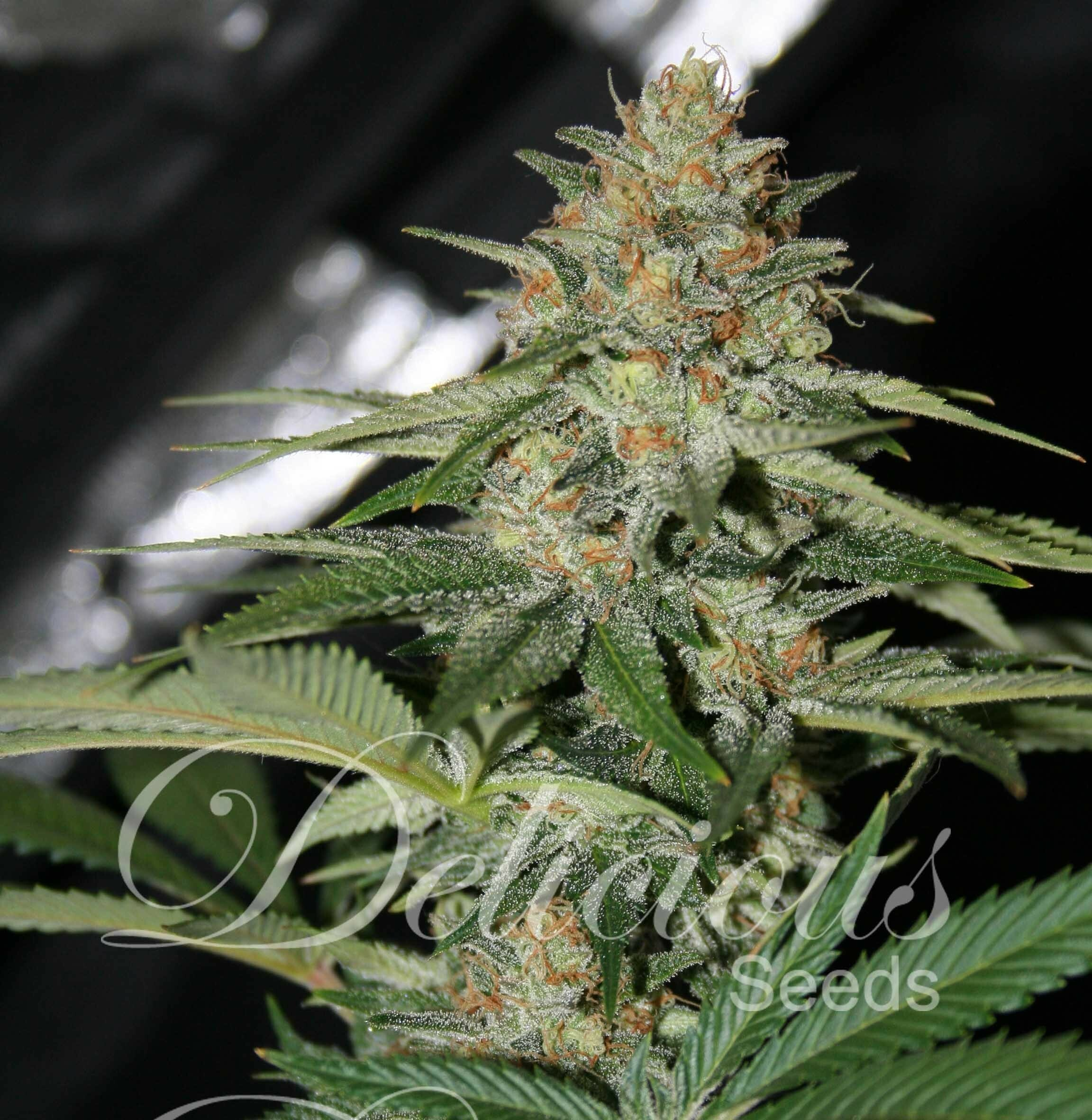 Delicious Seeds - Cheese Candy (fem.)