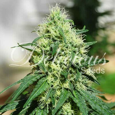 Delicious Seeds - Critical Kali Mist (fem.) 02512