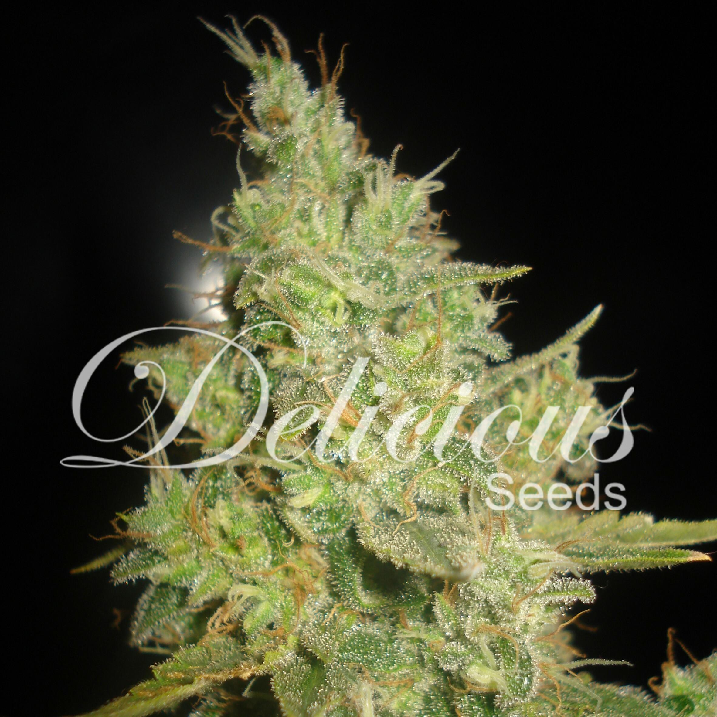 Delicious Seeds - Critical Kali Mist (fem.)