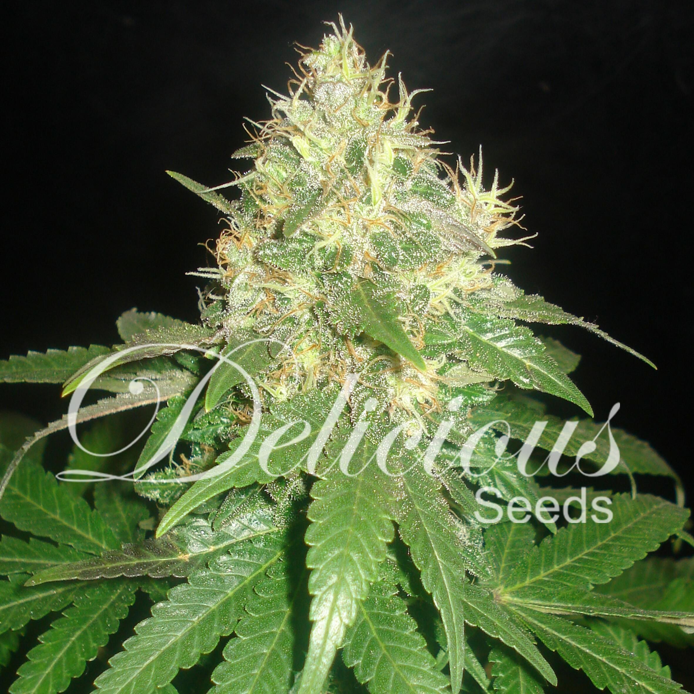 Delicious Seeds - Northern Light Blue (fem.)