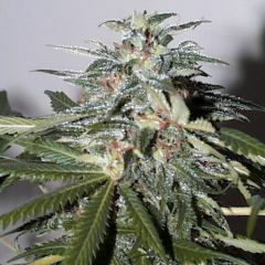 Феминизированные автоцветущие семена марихуаны K.С. Brains Seeds - K.C. 51