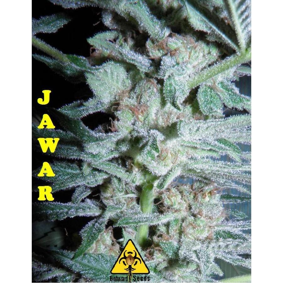 Biohazard Seeds - Jawar (fem.)