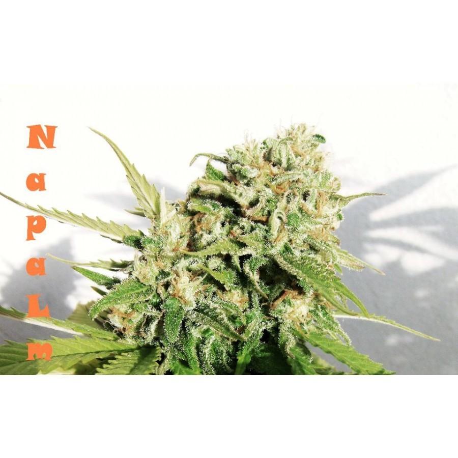 Biohazard Seeds - Napalm (fem.)