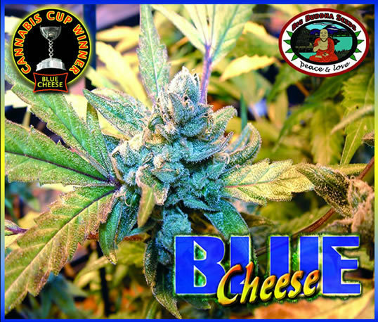 Big Buddha Seeds - Blue Cheese (fem.)