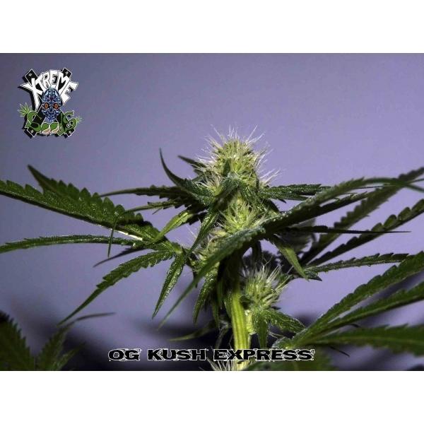 Xtreme Seeds - OG Kush Express (reg.)