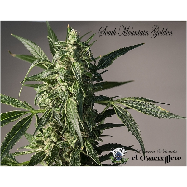 Xtreme Seeds - South Mountain Golden (fem.)
