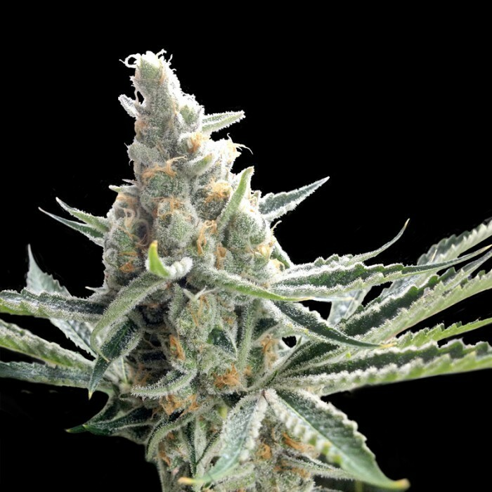 Crockett Family Farms - Crockett's Tangie (reg.)