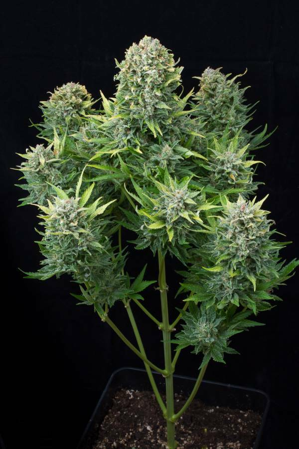Dinafem - White Cheese Autoflowering (auto/fem.)